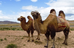 The Camel Festival in Mongolia