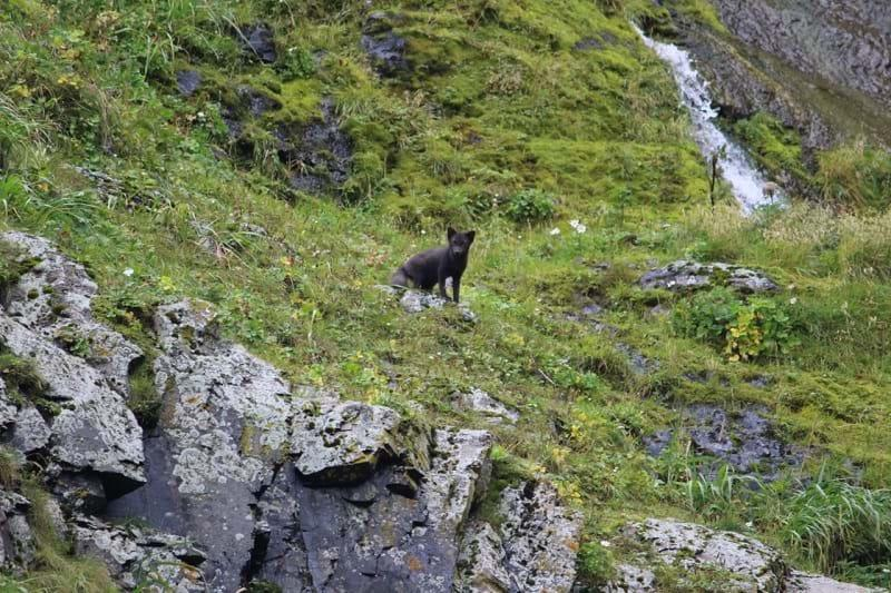 Arctic fox in Kamchatka, Russia