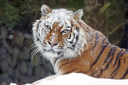 Amur Tiger in Siberia